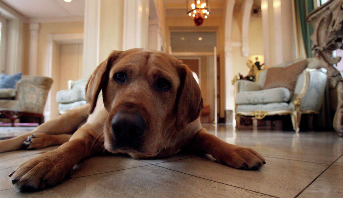 In 2006, Luke Tips enjoys the cool tile floor in the lobby of the Fairmount hotel. Luke was rescued from the pound the year before.