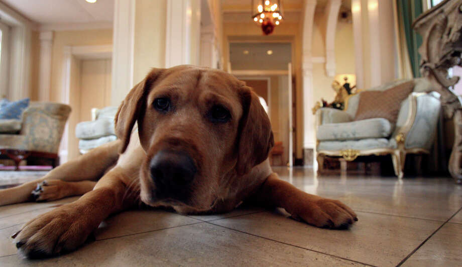 In 2006, Luke Tips enjoys the cool tile floor in the lobby of the Fairmount hotel. Luke was rescued from the pound the year before. Photo: JOHN DAVENPORT, SAN ANTONIO EXPRESS-NEWS / SAN ANTONIO EXPRESS-NEWS