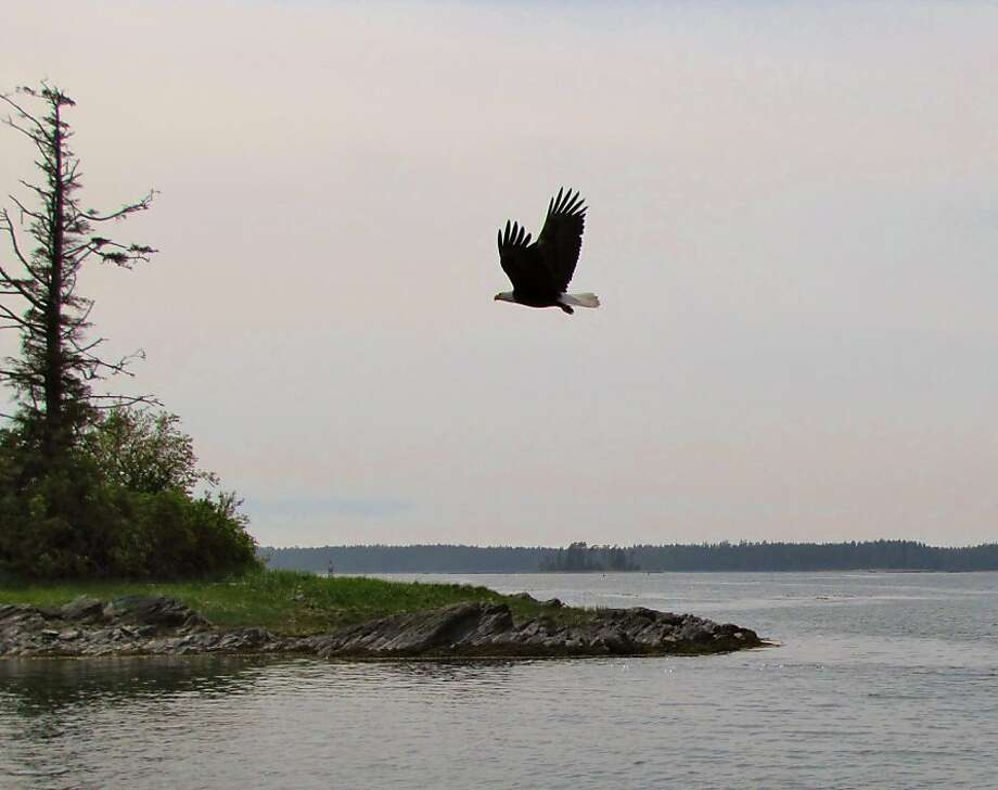 The same bald eagles that are relatively rare in the United States' lower 48 are common in this part of British Columbia. Photo: Chris Gray Faust, Special To The Chronicle