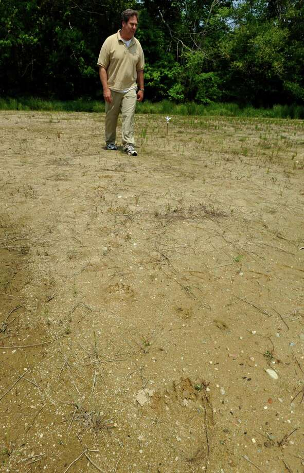 FILE - In this Thursday, May 31, 2012 file photo cranberry farmer David Ross walks near a black bear footprint in soft sand on his property in West Barnstable, Mass. Ross spotted the bear twice while working his bogs late Sunday. The 200-pound bear is capturing the imagination of Massachusetts residents as it meanders across Cape Cod after officials believe it swam over from the mainland. (AP Photo/Cape Cod Times, Steve Heaslip) Photo: Steve Heaslip / Cape Cod Times