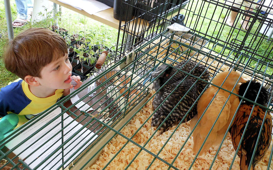 Joshua Bass checks out chickens from Wakeman Town Farm at EcoFest on Saturday at the Levitt Pavilion. Photo: Mike Lauterborn / Westport News contributed