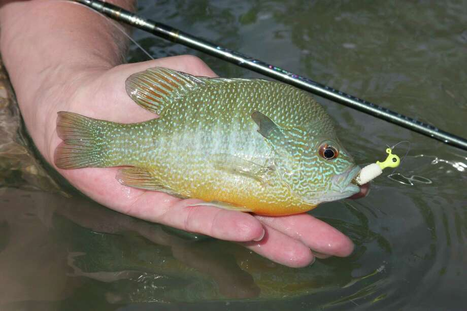 "Longear sunfish, sometimes called ""pumpkinseeds"" or ""cherry bream,"" are arguably the most colorful member of the sunfish group. Common, abundant and cooperative, longears' only drawback is size; the sunfish rarely grow to more than 4 to 6 inches. Photo: Shannon Tompkins / Houston Chronicle"