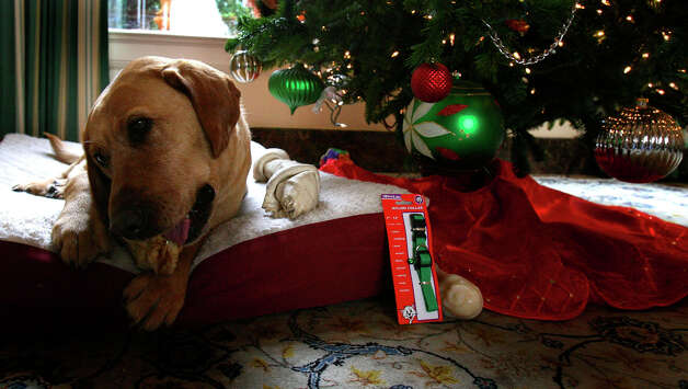 Luke Tips enjoys a bone under the Christmas tree in the lobby of the Fairmount hotel on Thursday December 7, 2006. Photo: JOHN DAVENPORT, SAN ANTONIO EXPRESS-NEWS / SAN ANTONIO EXPRESS-NEWS