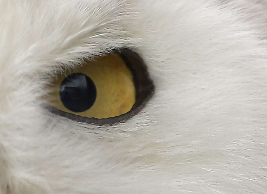 A Snowy Owl is displayed at Ueno Zoo in Tokyo, Saturday, June 9, 2012. (AP Photo/Itsuo Inouye) Photo: Itsuo Inouye, Associated Press
