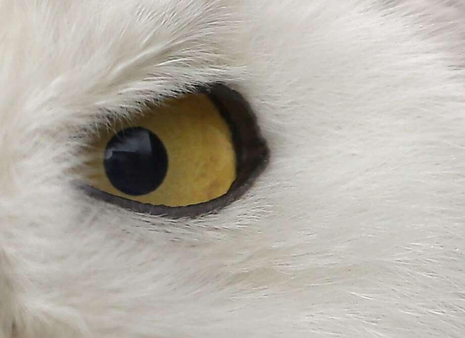 A Snowy Owl is displayed at Ueno Zoo in Tokyo, Saturday, June 9, 2012. (AP Photo/Itsuo Inouye) Photo: Itsuo Inouye, Associated Press