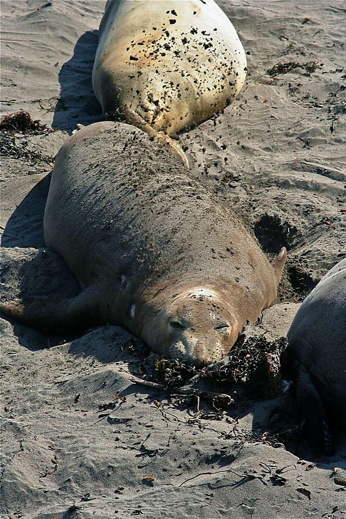 Elephant seals on the beach near Piedras Blancas light station.