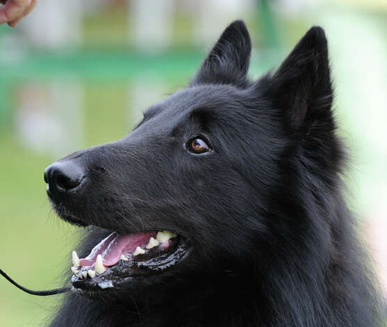 A Belgian Sheepdog named Diamond owned by Pat Paese of Bedford, N.Y., during the Greenwich Kennel Club 80th Dog Show at Taylor Farm Park in Norwalk, Saturday, June 9, 2012. Photo: Bob Luckey / Greenwich Time