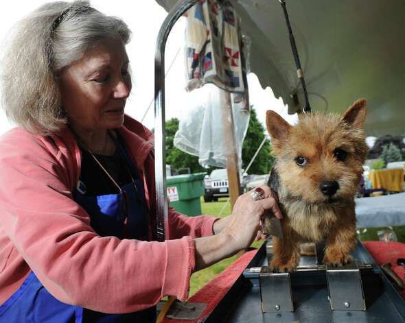 Leandra Little of Weehawken, N.J., preps her Norwich terrier named Ollie during the Greenwich Kennel Club 80th Dog Show at Taylor Farm Park in Norwalk, Saturday, June 9, 2012. Photo: Bob Luckey / Greenwich Time