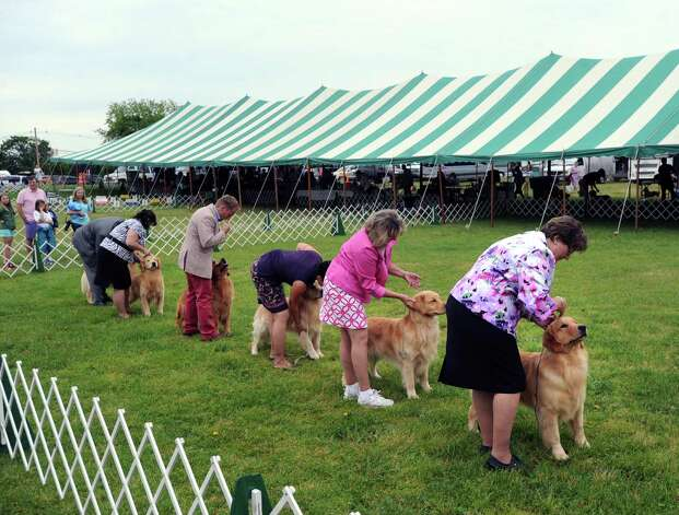 Golden retrievers being judged during the Greenwich Kennel Club 80th Dog Show at Taylor Farm Park in Norwalk, Saturday, June 9, 2012. Photo: Bob Luckey / Greenwich Time
