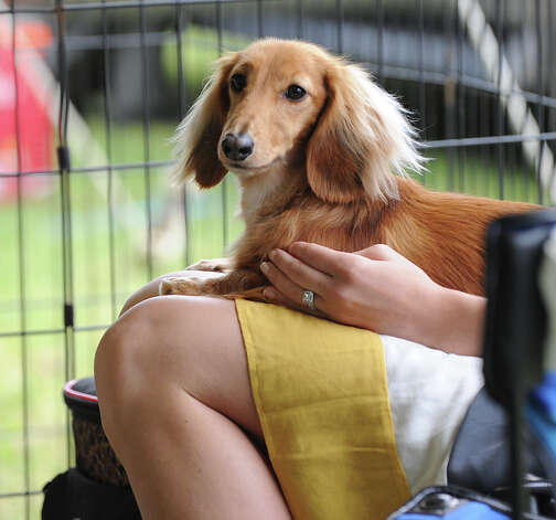 Jennifer Shedlock of Stratford and her Long-haired Dashund named Stoney   during the Greenwich Kennel Club 80th Dog Show at Taylor Farm Park in Norwalk, Saturday, June 9, 2012. Photo: Bob Luckey / Greenwich Time