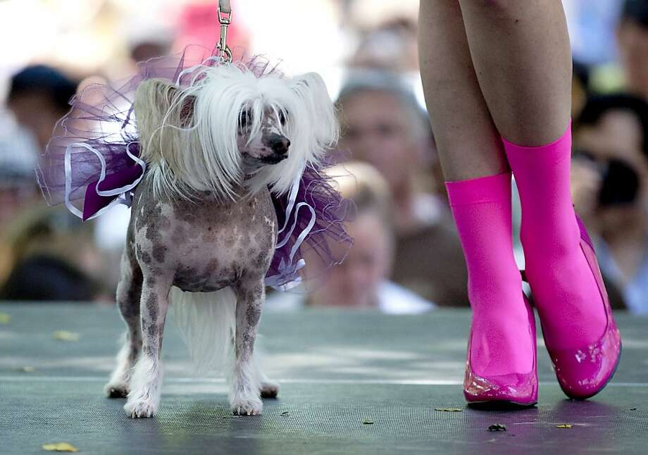 really wanted the boots: Monica, a Chinese crested, sports a tutu on the runway at a fashion show during the outdoor dog festival Woofstock in Toronto. Photo: Michelle Siu, Associated Press