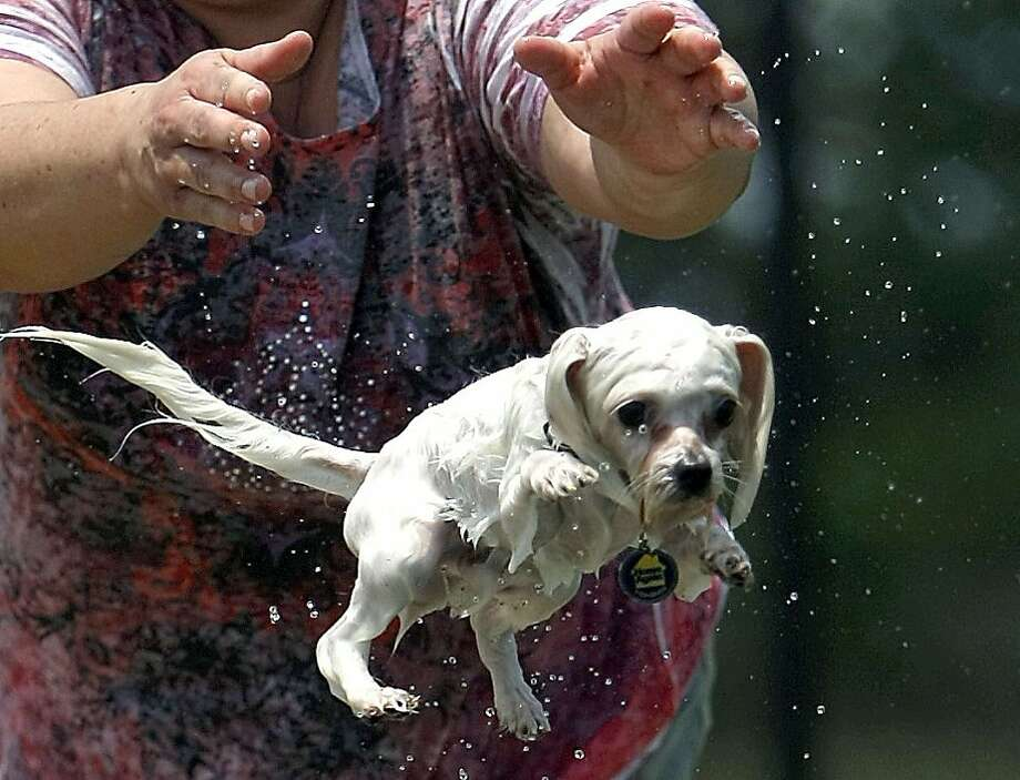 Marcia Flores throws her Maltese, Max, into a pond at Millie Bush Dog Park in George Bush Park on Sunday, June 10, 2012, in Houston. (AP Photo/Houston Chronicle, Johnny Hanson) Photo: Johnny Hanson, Associated Press