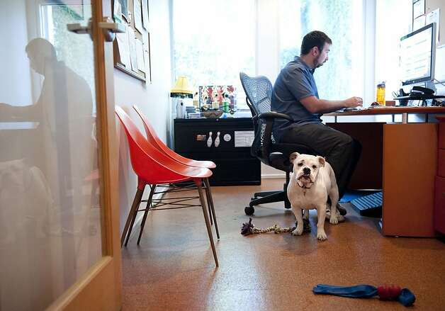 Ginger, an English Bulldog, stands watch while at work with her owner Will  Pisnieski, at Authentic Entertainment in Burbank, Calif., Monday, June 11, 2012. is one of millions of dogs that accompany their owners to dog-friendly businesses across the country every day. Even more will join her next Friday for Take Your Dog to Work Day. (AP Photo/Grant Hindsley) Photo: Grant Hindsley, Associated Press