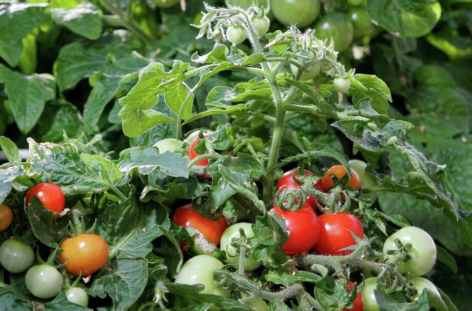In this Dec. 1, 2011 photo, dwarf tomato plants grow at the University of New Hampshire greenhouse in Durham, N.H. The university has been experimenting with dwarf tomato plants as holiday decor. Photo: AP