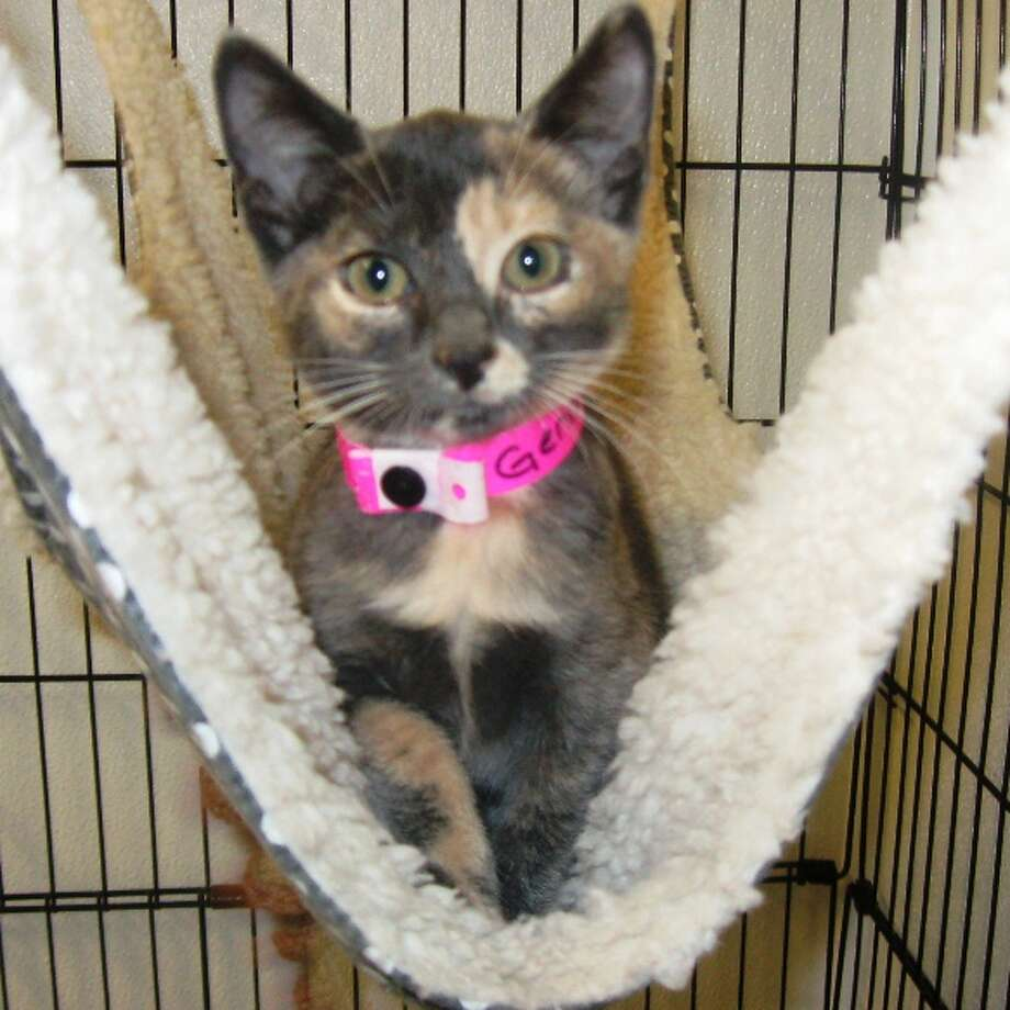 Genesis is one of many kittens available for adoption. Photo: Animal Defense League