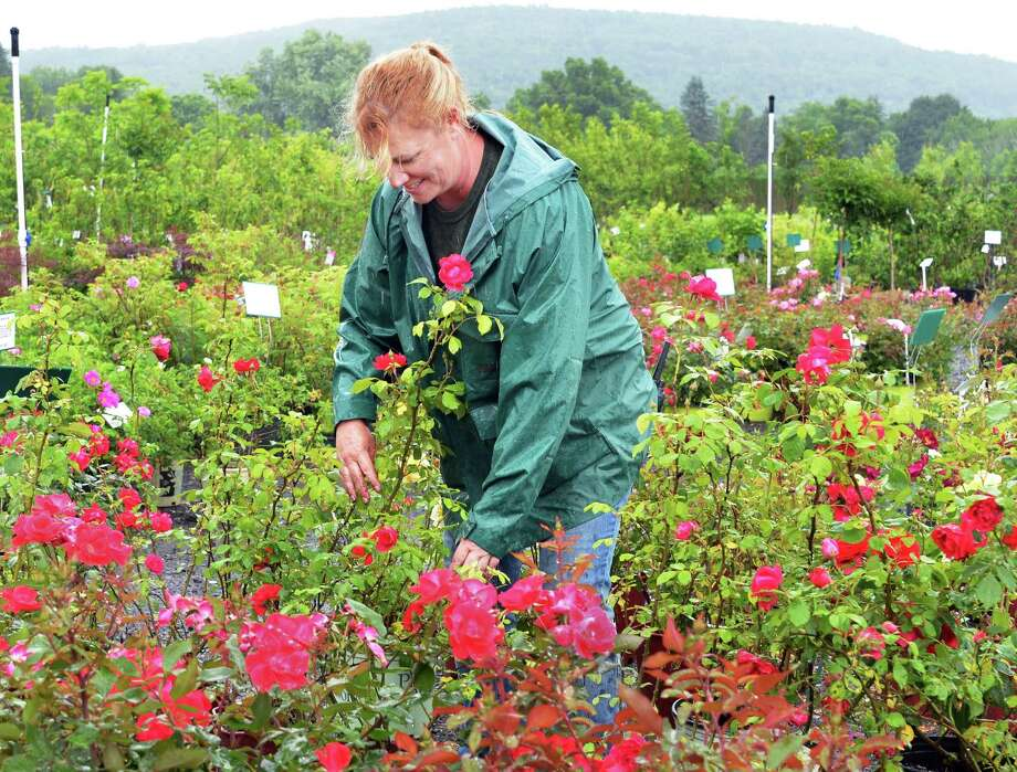 Summer rains don't seem to dampen the spirits of Suzanne Robinson- Parisi as she tends to rose bushes at Guernsey's Schoharie Nurseries in Schoarie Tuesday June 12, 2012.  Last year's floods had this field under eight feet of water.   (John Carl D'Annibale / Times Union) Photo: John Carl D'Annibale / 00018061A