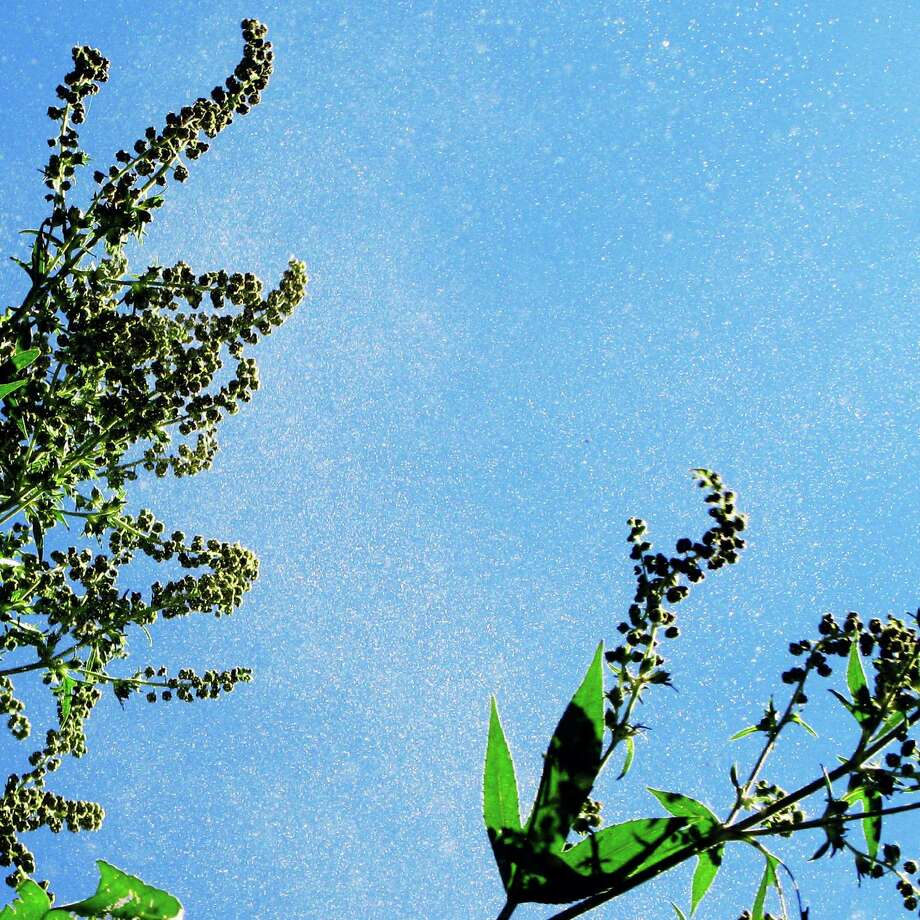 This Ragweed Season In South Texas Could Be The Worst