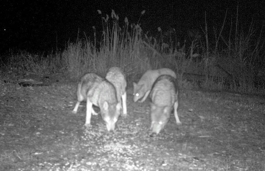 A group of coyotes caught on camera behind the Fairfield Animal Shelter on One Rod Highway. Photo: Contributed Photo