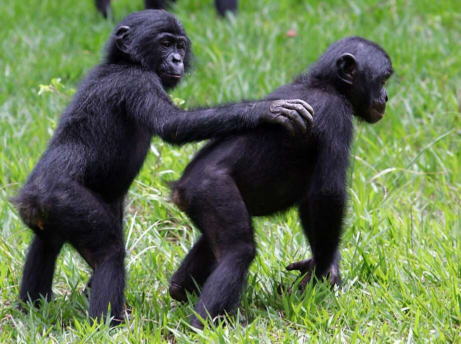 Almost human: Young bonobos play together in a park near 