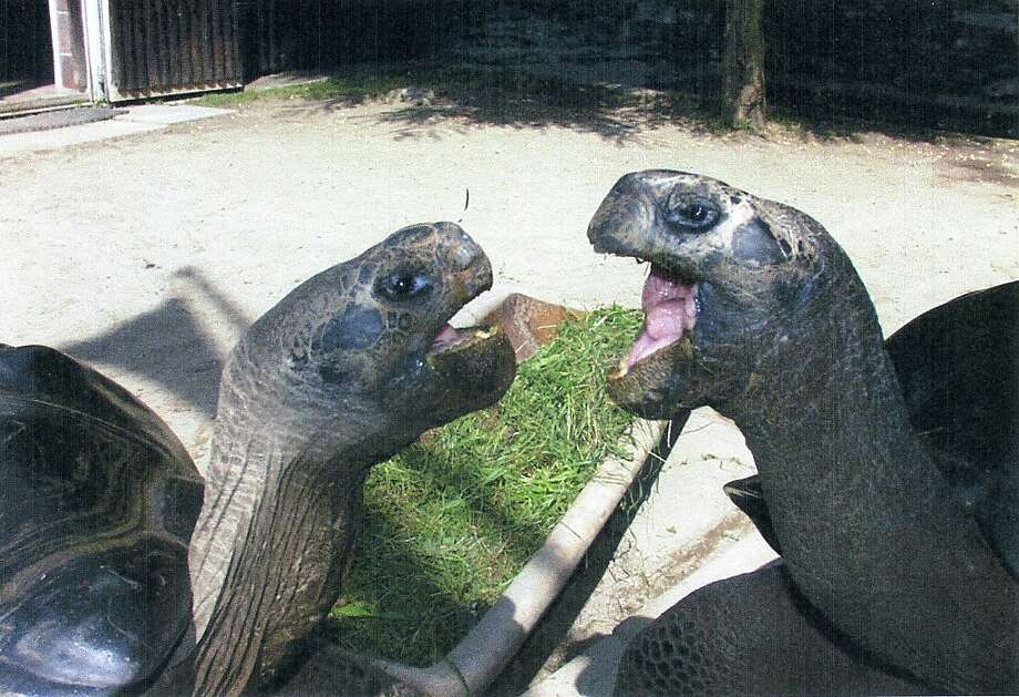 "An undated handout picture released on June 13, 2012 by the Klagenfurt zoo shows Bibi et Poldi, two several hundred years old giant tortoises which have been living together for 36 years at the zoo in Klagenfurt, southern Austria. The zoo officials had to separate the two tortoises which can not stand each other any more, said today Elga Happ, warden.  AFP PHOTO / KLAGENFURT ZOO RESTRICTED TO EDITORIAL USE -- MANDATORY CREDIT ""AFP PHOTO / KLAGENFURT ZOO"" -- NO MARKETING OR ADVERTISING CAMPAIGNS -- DISTRIBUTED AS A SERVICE TO CLIENTS-/AFP/GettyImages Photo: -, AFP/Getty Images"