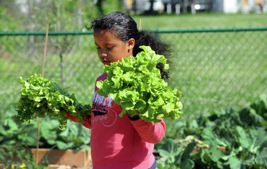 Third grade Curiale student Unique Farrell helps her classmates pick lettuce in the garden they planted at the school with the help of Groundwork Bridgeport, BuildOn and Green Village Initiative on April 28. The students harvested the greens on Thursday May 31, 2012 and will be served salad made from the freshly harvested lettuce in the school cafeteria. Photo: Cathy Zuraw / Connecticut Post