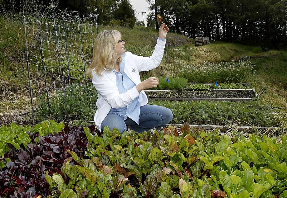 At a lettuce planter, Cynthia Sandberg examines leaves eaten by insects which she will clear from the organic garden. Cynthia Sandberg, the owner of Love Apple Farms, in the hills above Santa Cruz, Calif., raises vegetables in her terraced garden and large green houses on the property for Michelin starred restaurants. Photo: Brant Ward, The Chronicle