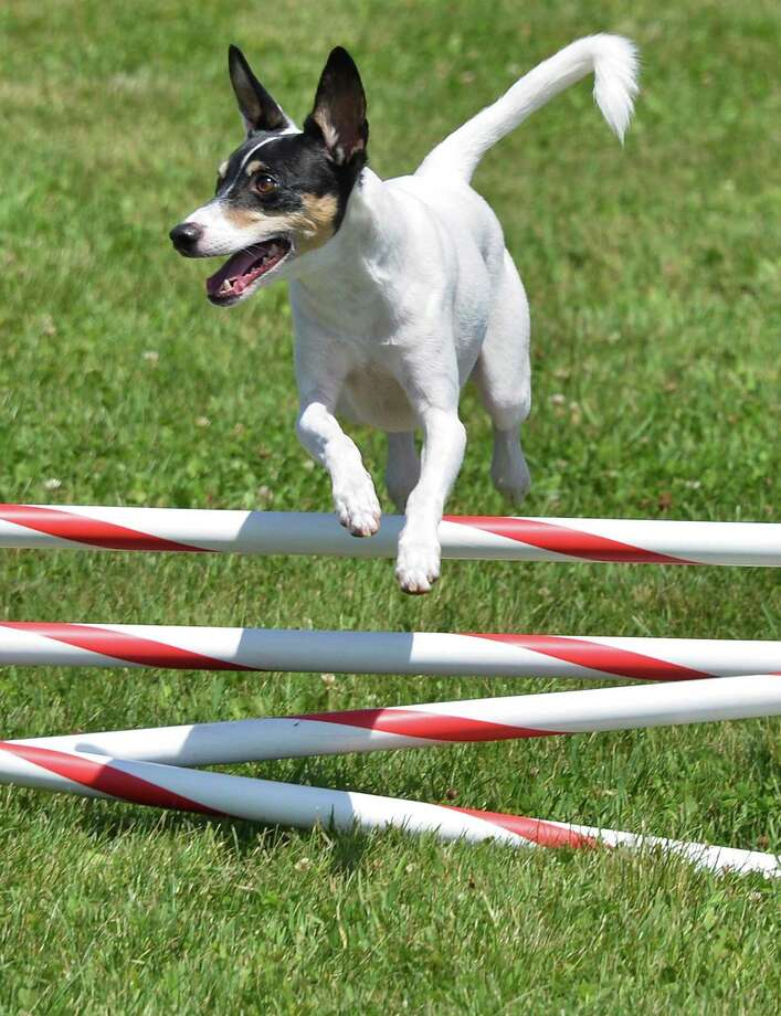 "Brittany Keckler of Cincinnati, Ohio's Rat Terrier ""Troy"" practices for the Canine Performance Event's National Agility Championship at the Altamont Fairgrounds Thursday June 14, 2012. A first for Albany County, the three-day event beginning Friday at the fairgrounds will see 500 dogs of all shapes and sizes run an agility course combining jumps inspired by horse shows with obstacles derived from traditional working dog training. (John Carl D'Annibale / Times Union) Photo: John Carl D'Annibale / 00018093A"