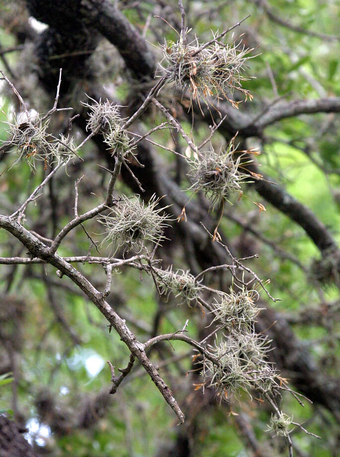 Ball moss is not a threat to oak trees. It doesn't rob the tree of nutrients, but, in fact, it sends nitrogen into the soil, improving the nutrient content of soil. Photo: J. MICHAEL SHORT, For The Express-News / SAN ANTONIO EXPRESS-NEWS