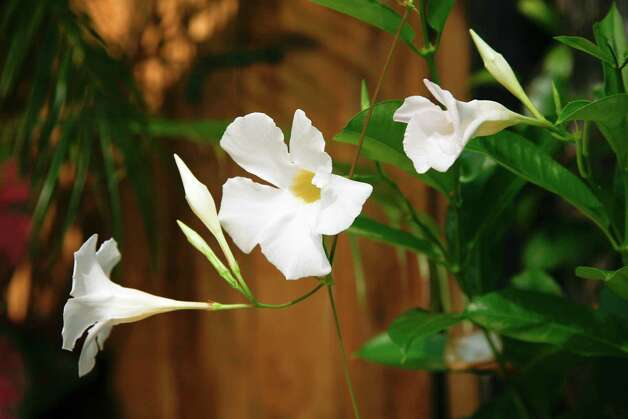 Mandevilla vine Photo: John Everett / John Everett
