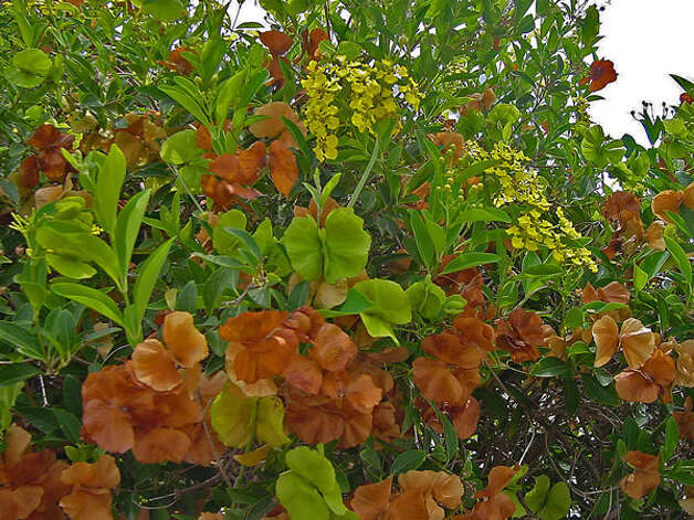 yellow butterfly vine with chartreuse and tan seed pods Photo: Www.plantanswers.com