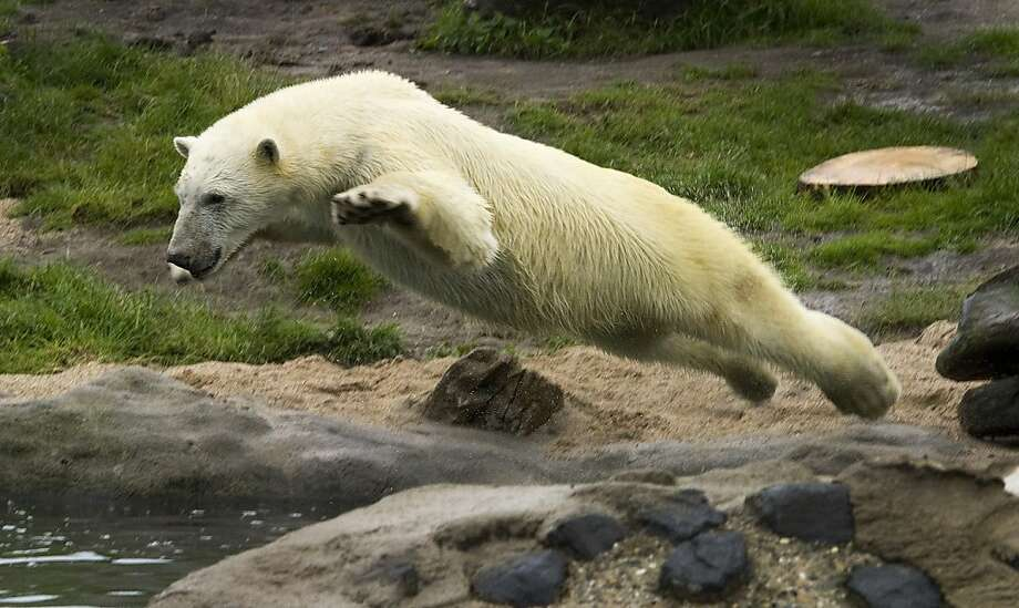 Polar bear Vicks jumps in the pool of its enclosure at the Blijdorp Zoo, in Rotterdam, on 15 June 2012. AFP PHOTO / ANP / TOUSSAINT KLUITERS  *** netherlands out - belgium out ***TOUSSAINT KLUITERS/AFP/GettyImages Photo: Toussaint Kluiters, AFP/Getty Images