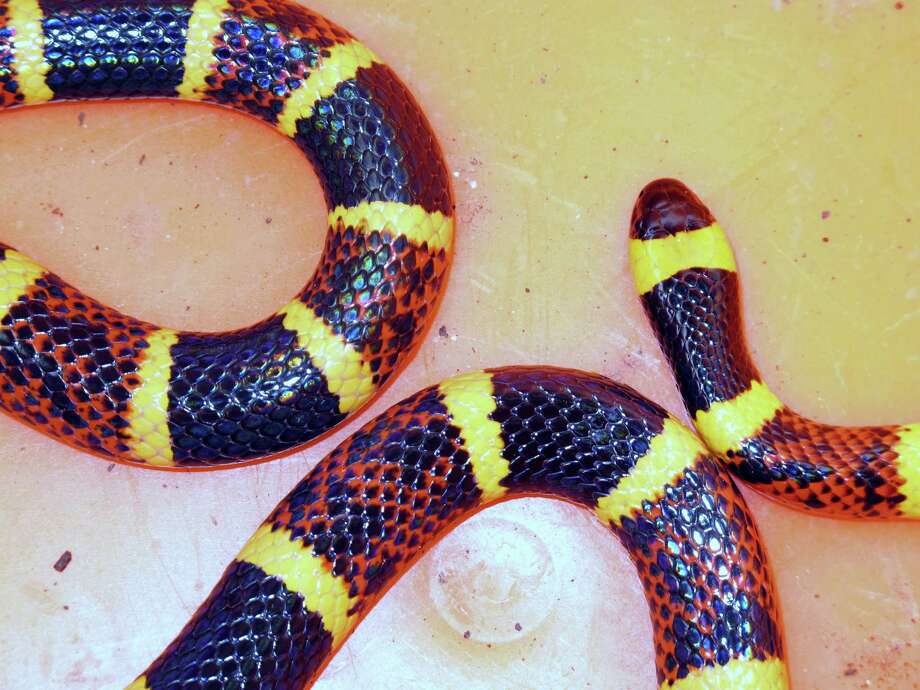 Forrest Mims nearly stepped on this coral snake while out walking recently.  It was the second coral snake sighted in the area. Photo: Forrest M. Mims III, For The Express-News