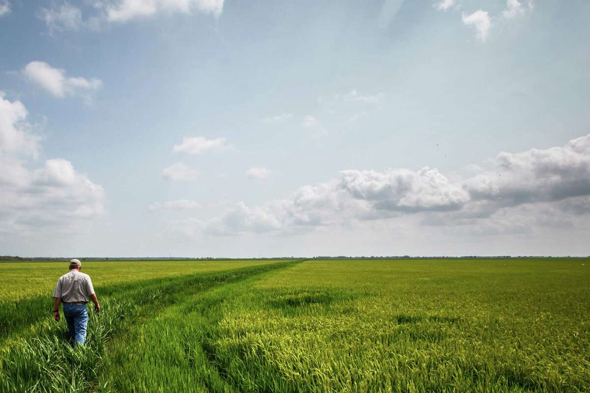L.G. Raun walks along a levee separating two rice fields at his farm near El Campo in June. Texas is fourth in the nation in rice production.