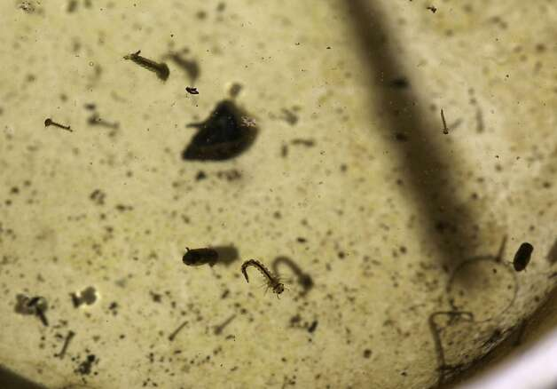 Mosquito larvae and pupae are seen in a sampling taken by David Wexler, vector control inspector Contra Costa Mosquito & Vector Control District, on Friday, June 15, 2012 in Concord, Calif. Photo: Lea Suzuki, The Chronicle