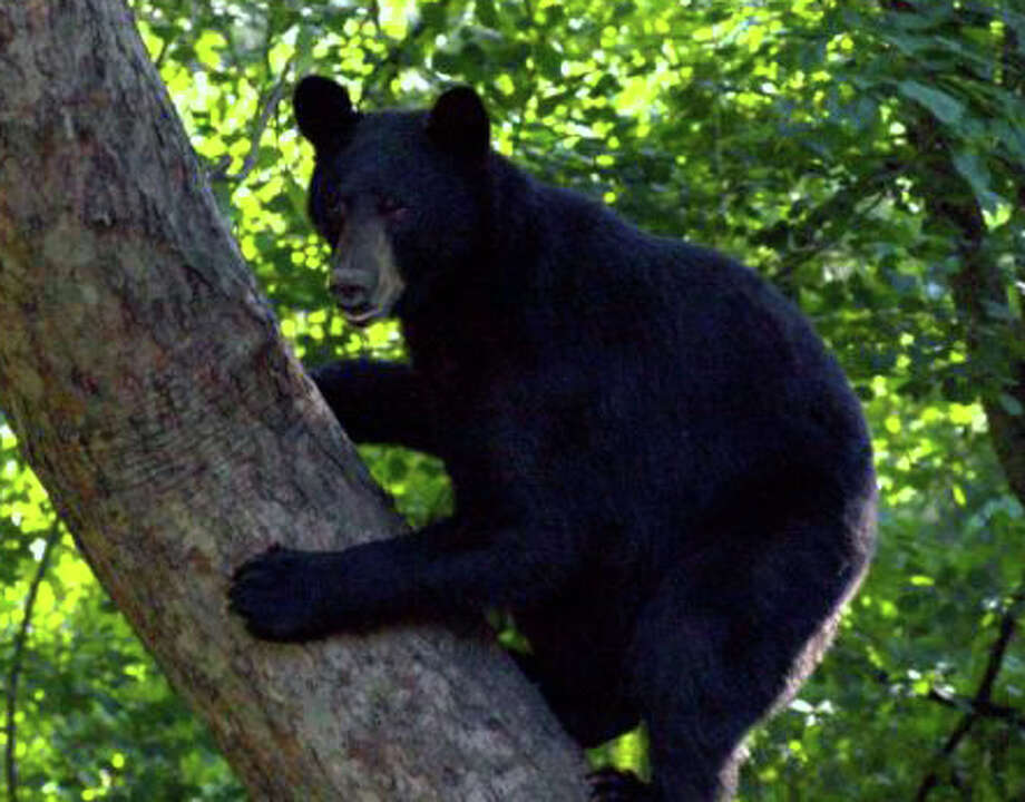 This black bear spent several hours in a Trumbull back yard in June 2011. Photo: File Photo / Fairfield Citizen