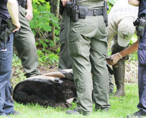 A small black bear was caught and tranquilized in Greenwich a few weeks ago. Photo: File Photo / Fairfield Citizen