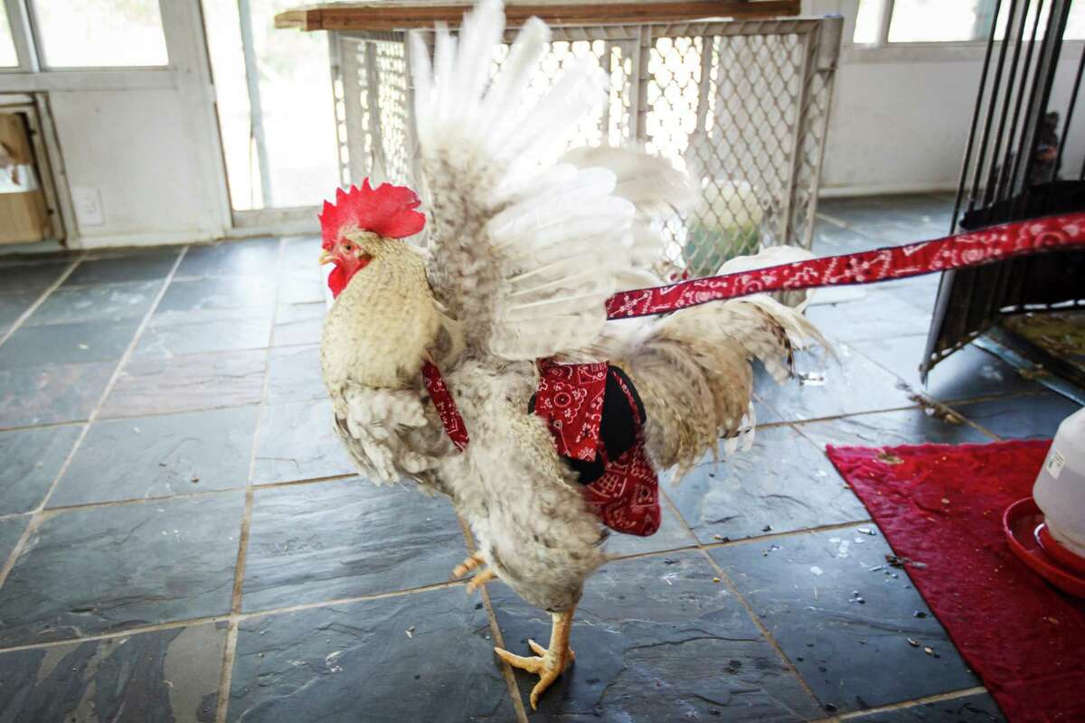 Big Boy struts his stuff while wearing a Hen Holster on a leash held by Tobi Kosanke, who runs Crazy K Farm with her husband, Stefane, and daughter, Jemma.