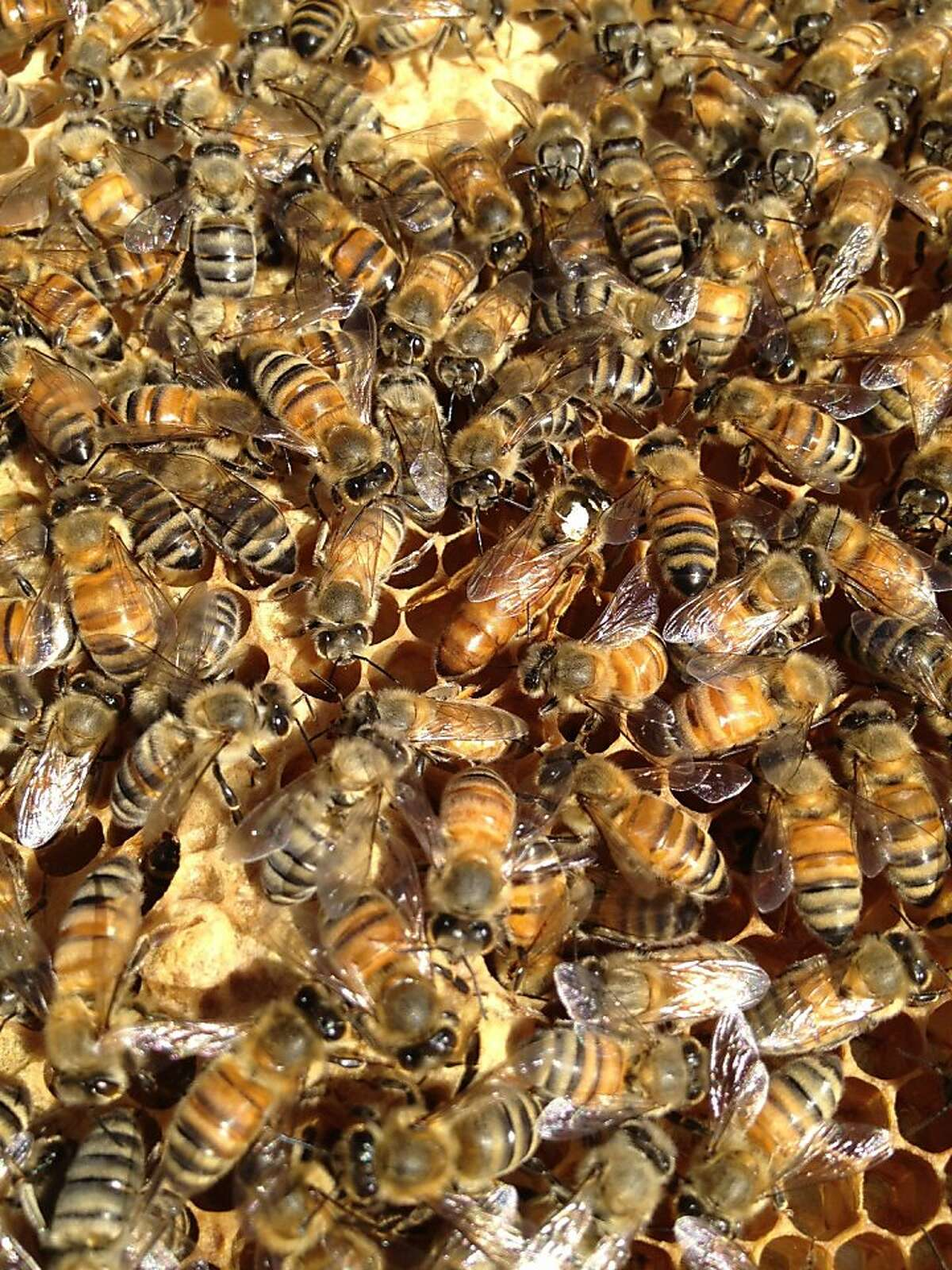 The queen bee (with white dot) lays eggs on a frame filled with brood comb.