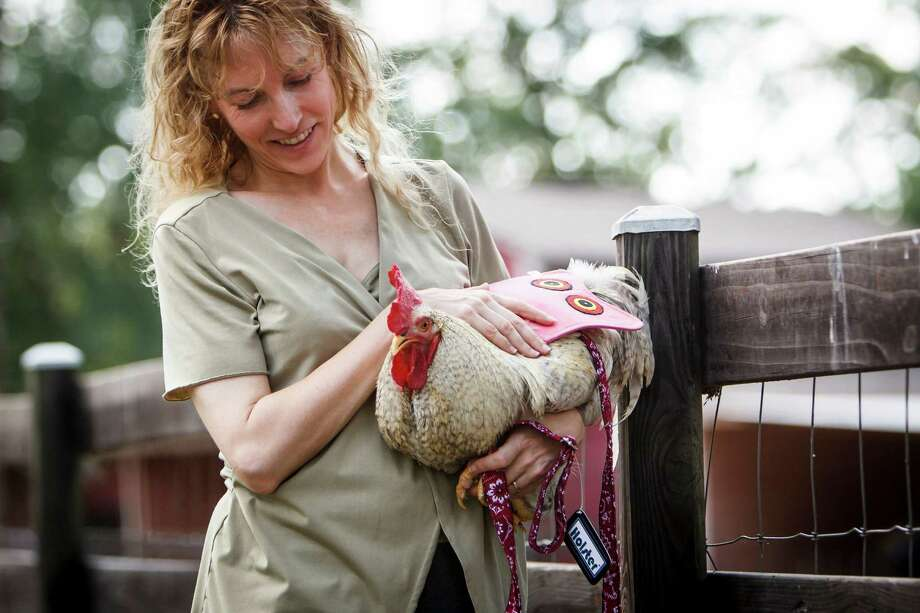 Tobi Kosanke president of Crazy K Farm holds her chicken named Big Boy as he wears a Hen Holster chicken diaper with leash and a Hen Saver, Thursday, June 14, 2012, in Hempstead.  Kosanke created a line of poultry products to help protect birds and increase their quality of life. Photo: Michael Paulsen, Houston Chronicle / © 2012 Houston Chronicle
