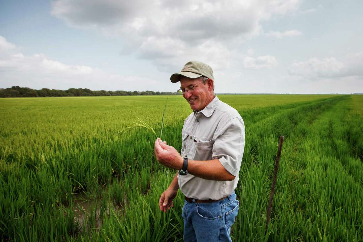 For L.G. Raun, a third-generation rice farmer in Wharton County, the crop is looking good, but the political climate not so much.