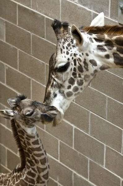 A new female Masai giraffe, left, was delivered by Mom Tyra shortly after 5 p.m. on March 4 at the M