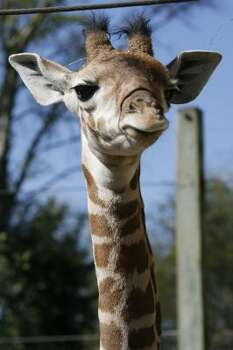 Houston Zoo's new baby giraffe Jack is photographed Wednesday, March 12, 2008, in Houston. This photo accompanies a Jeannie Kever features story. ( Kevin Fujii / Chronicle ) (Kevin Fujii / Houston Chronicle)
