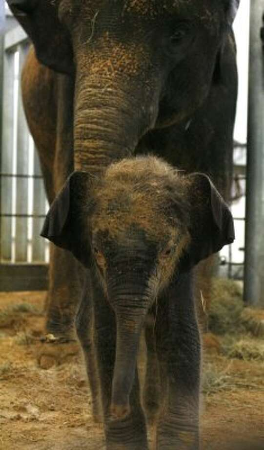 Shanti and her baby, Baylor, 48-hours old, in an indoor pen at the Houston Zoo, Thursday May 6, 2010, in Houston. (  Karen Warren / Houston Chronicle ) (Karen Warren / Houston Chronicle)