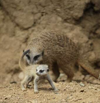 Baby meerkats play in their exhibit at the Houston Zoo, Saturday, Sept. 4, 2010, in Houston. ( Karen Warren / Houston Chronicle ) (Karen Warren / Chronicle)