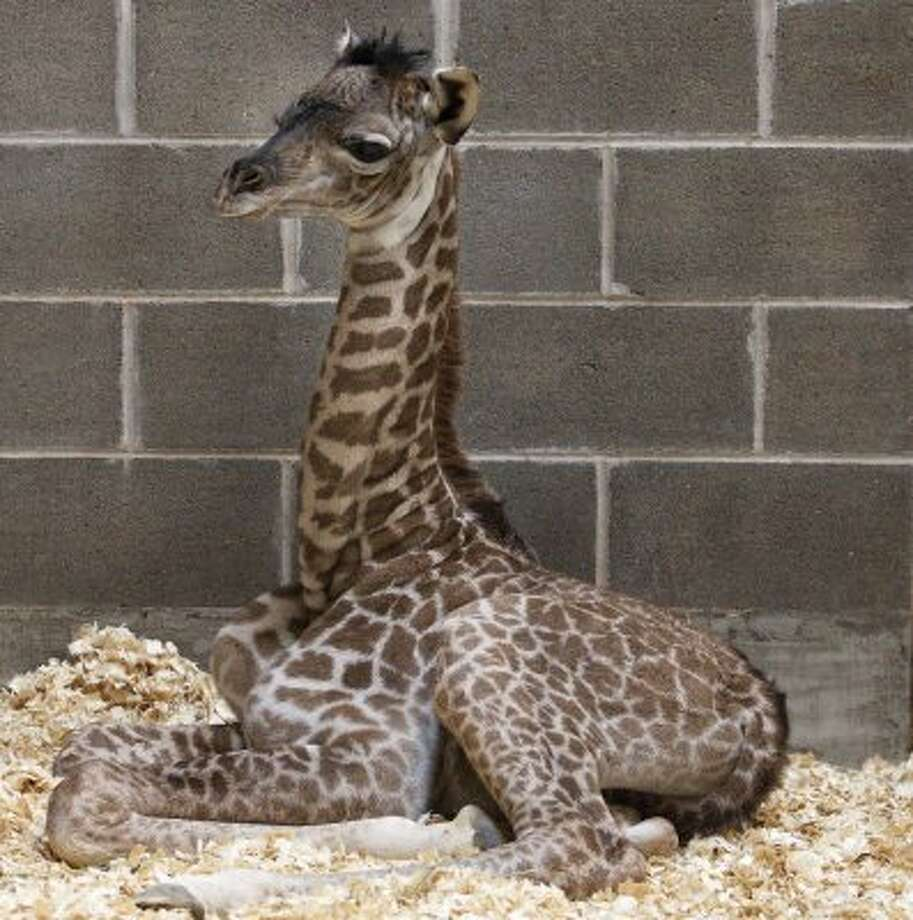 "A new female Masai giraffe was delivered by Mom Tyra shortly after 5 p.m. on March 4 at the McGovern Giraffe Exhibit at The African Forest following a 14 month pregnancy, March 5, 2011 in Houston at the Houston Zoo. From the Houston Zoo website: ""Tyra went into labor at approximately 3:15 p.m. yesterday and delivered her baby 5:15 p.m.,"" said Houston Zoo Hoofed Stock Supervisor Laurie McGivern.  The as yet unnamed calf was standing on her own and nursing by 6:15 p.m. ""The calf weighs 150 pounds and is 6 foot 6 inches tall. She's a strong healthy baby,"" said McGivern.  This is 12 year old Tyra's sixth calf.  Kiva, the father is 15 years old.  With this new arrival, the Houston Zoo's herd of Masai giraffe has grown to 8, including 5 males and 3 females."" Zoo staff said there will be a chance the baby will be on display today, Sunday March 6, 2011.(Eric Kayne/For the Chronicle) (Eric Kayne / For the Chronicle)"