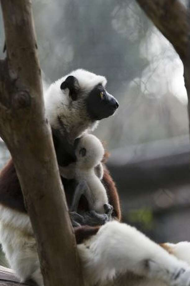 Zenobia, a species of lemur called Coquerel's sifaka, with her baby at the Houston Zoo Friday, Jan. 23, 2009, in Houston.   Born on January 6, the birth is a first for the zoo. The baby is also the first birth for the proud parents, mom Zenobia and dad Dean. It now weighs 4 ounces.  ( Melissa Phillip / Chronicle ) (Melissa Phillip / Houston Chronicle)