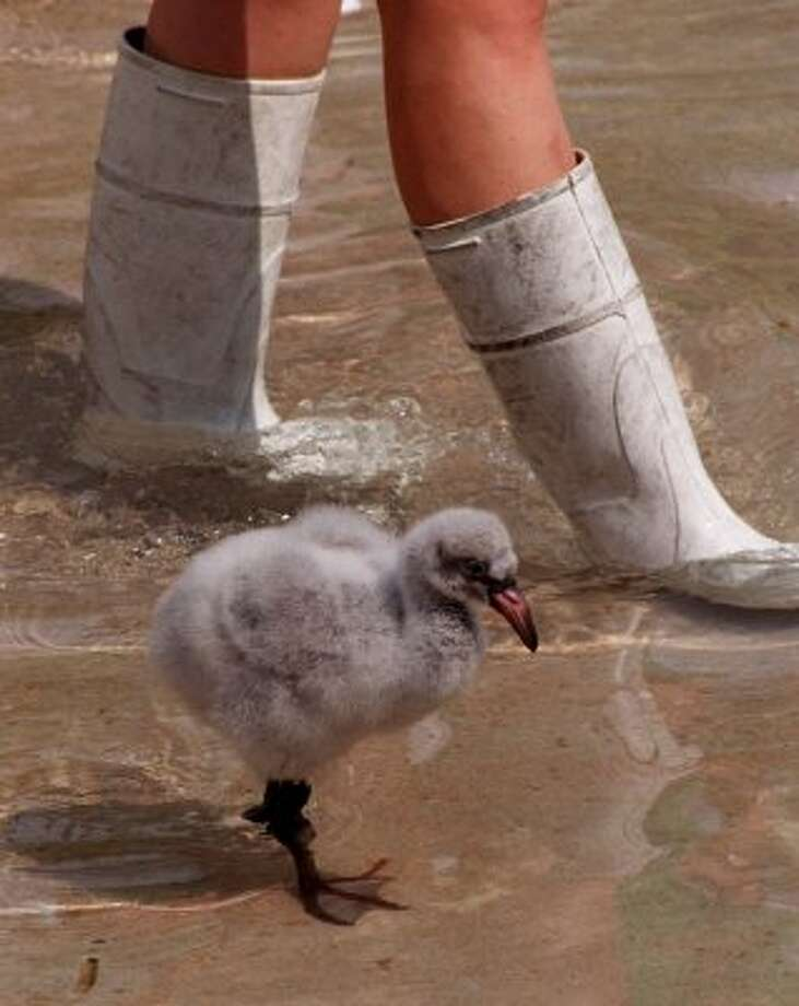 "CONTACT FILED:  HERMANN PARK ZOO-HOUSTON-ANIMALS (ROLL 1) 10/8/02--""Squirt"", a 28 day old Chilean Flamingo at the Houston Zoo is taken to a pond to stretch his legs by zookeeper Camile Cline.   http://www.chron.com/cs/CDA/story.hts/features/1618655 (Steve Campbell / Houston Chronicle)"