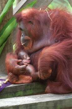 CONTACT FILED:  HERMANN PARK ZOO-HOUSTON-ANIMALS 7/11/2003--Kelly, a 23 year-old Orangutan feeds her weeks-old second baby, Solaris, nicknamed Sam, at the Houston Zoo, today. Photo by Steve Ueckert / Chronicle EDS NOTE: The Houston Zoo has embargoed these images of the baby Orang until 12:01am, Friday, July 18, 2003.   HOUCHRON CAPTION (12/02/2003):  The Houston Zoo's Kelly the orangutan and the birth of Solaris are featured in the second half of That's My Baby, 8 tonight on Animal Planet. (Steve Ueckert / Houston Chronicle)