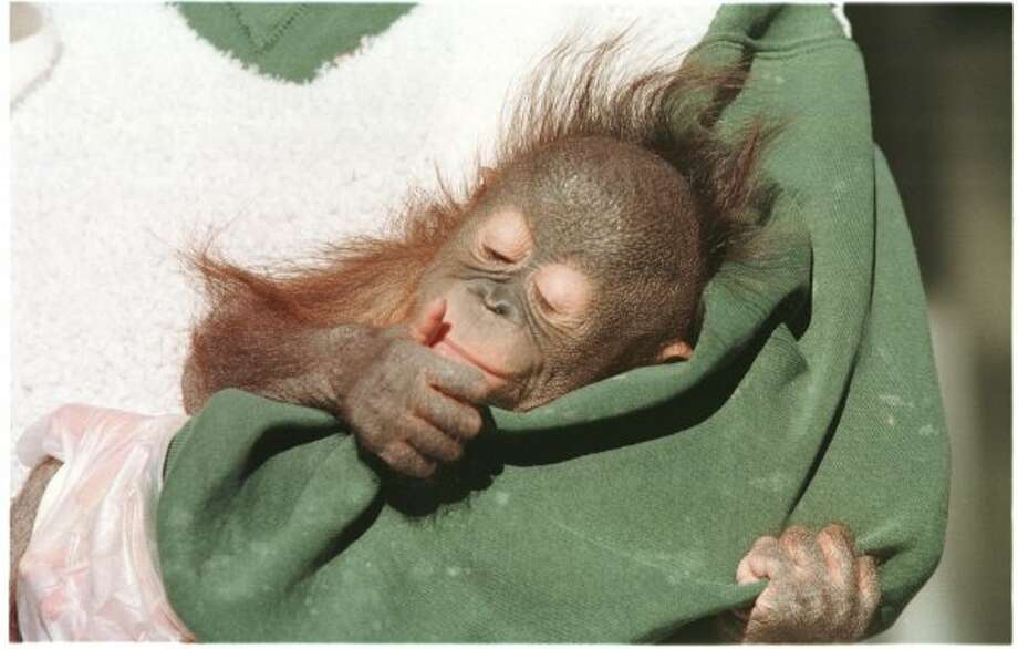 "LUNA - BABY ORANGUTAN AT HOUSTON ZOO.   HOUCHRON CAPTION (02/07/1998):   Luna, the first great ape ever born at the Houston Zoo, is ""doing beautifully,"" say officials at the zoo.  The 4 1/2-month-old baby orangutan can't walk yet, but she can crawl like a human child. (John Everett / Houston Chronicle)"