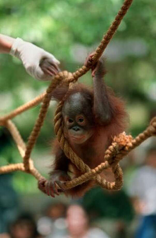 Luna, a 7 mo. old orangutan bred at the Houston Zoo.  HOUCHRON CAPTION (05/13/1998):  Luna, a 7-month-old orangutan, climbs ropes with the help of a zookeeper's hand at the Houston Zoo on Tuesday.  Luna was bred at the zoo and is one of the newest members of the ape exhibit.   HOUCHRON CAPTION (08/27/1998):  Luna, The baby Orangutan, comes out to play tonight at the zoo. (John Everett / Houston Chronicle)